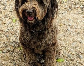 Photo of Pets Of Kegworth: Nibbles The Labradoodle