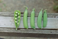 Photo of Five Jokes About Peas